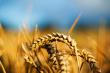 closeup photo of wheat stalk
